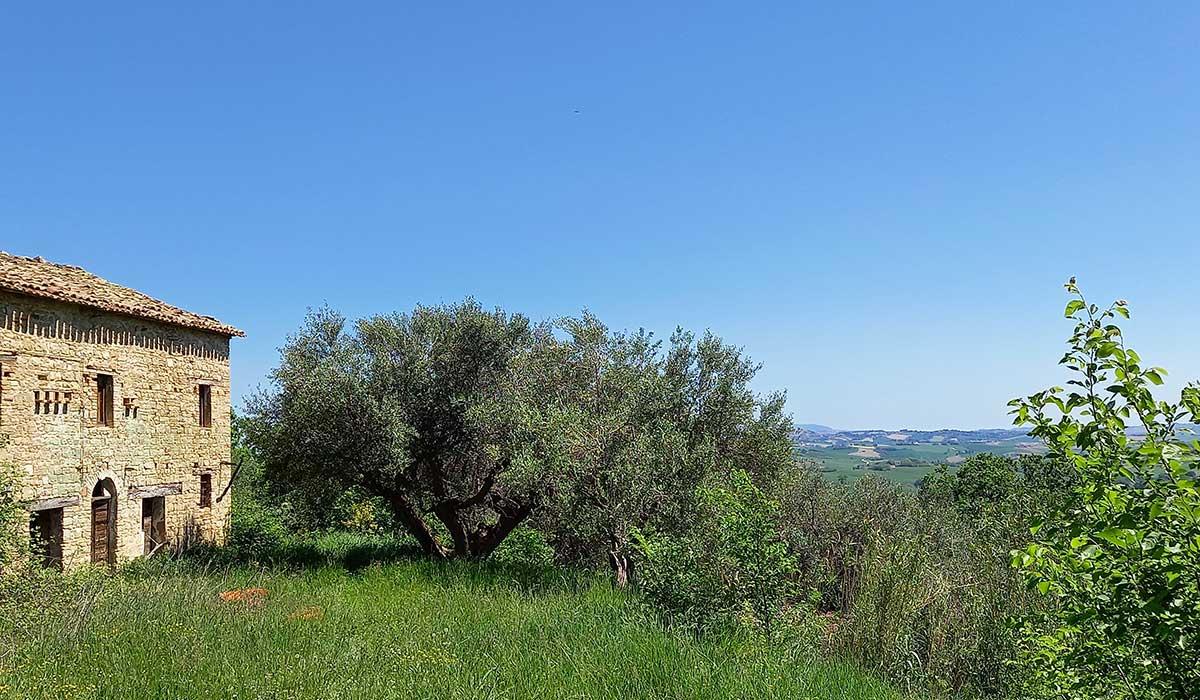 sette-ettari-olivo