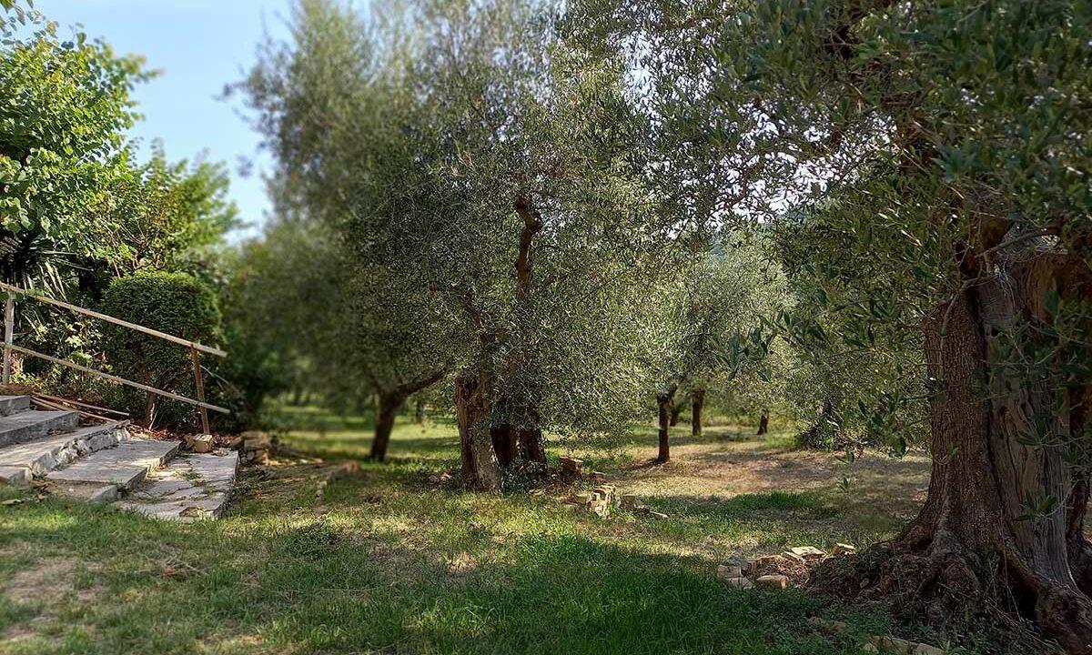 Sant'Elpidio-olivi
