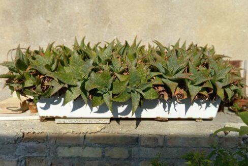 Sant'Elpidio-piante